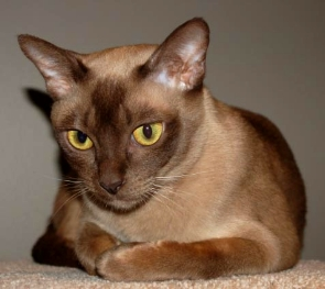 Burmese Cat Corrine